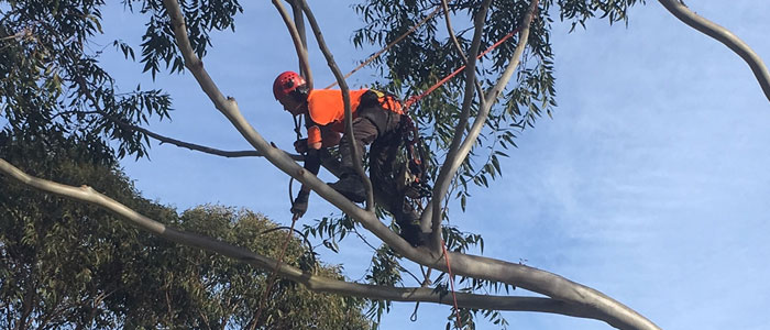 emergency tree trimming northern beaches