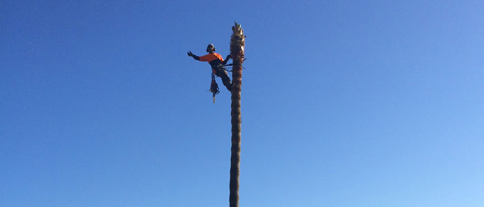 northern beaches palm tree lopping services