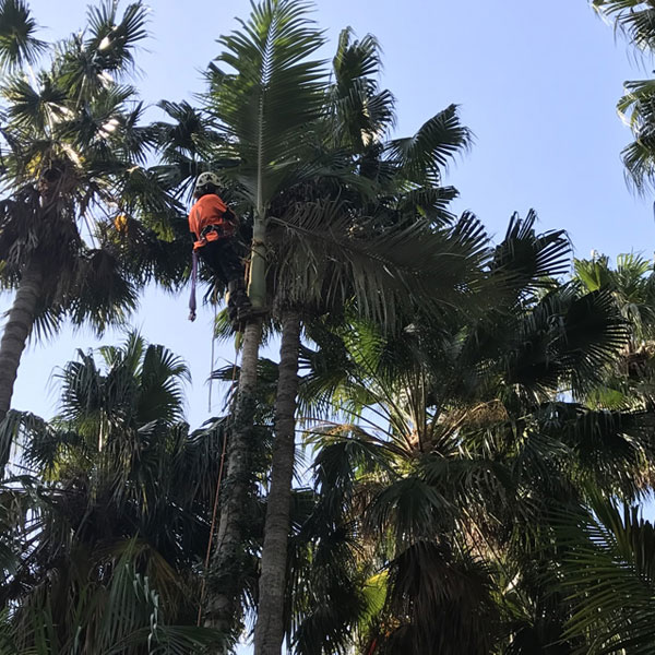 Northern Beaches Palm Tree Removal Pruning Services Approval Help