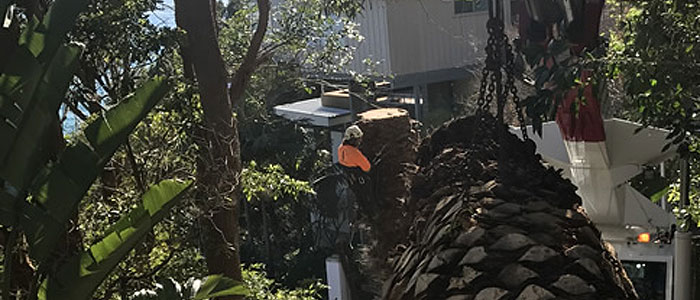 palm tree lopping northern beaches