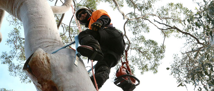tree lopping manly