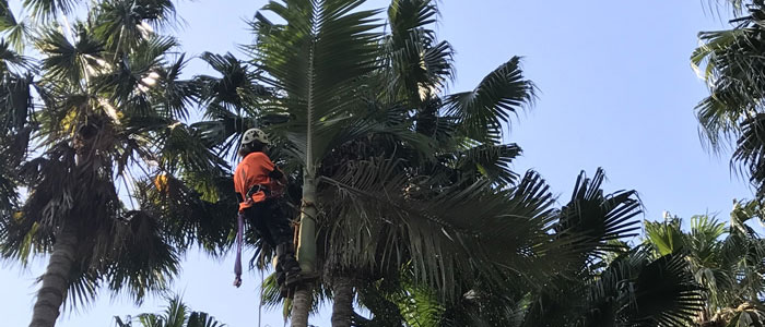tree pruning northern beaches
